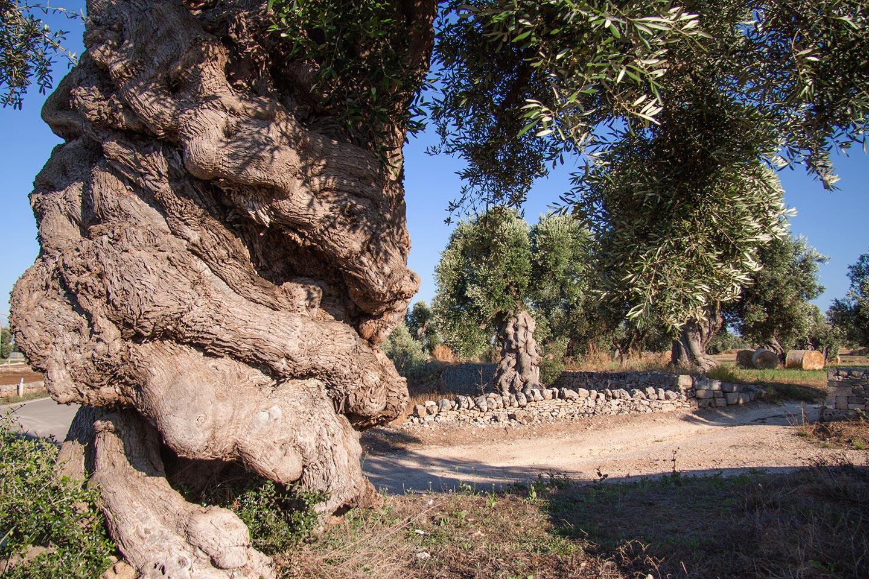 Ulivo secolare monopoli, tra i più antichi di Puglia